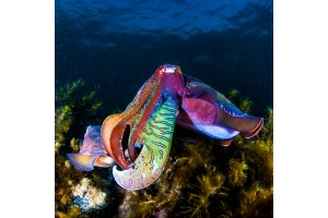 giant-cuttlefish-whyalla-carl-charter-good-living-content